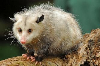负鼠是奇特真菌类植物的主要授粉媒介