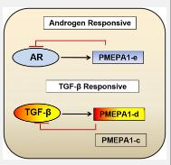 从RNA Seq分析Pro中表征独特的PMEPA1基因剪接变体