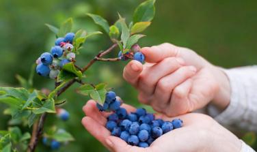 传粉媒介像野蜂一样对生产较大的蓝莓至关重要
