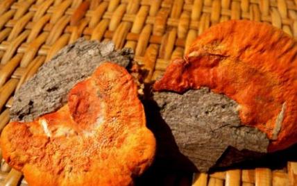 研究发现肉桂牛樟芝可预防肝损伤和炎症