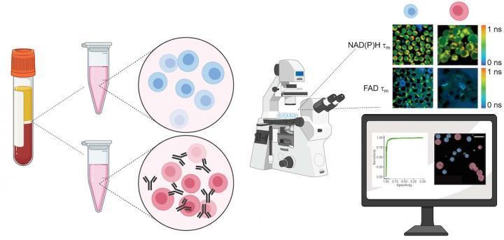 新颖的无标记成像技术可以带出T细胞内部的光